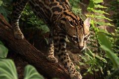 Katachtige wildernis Royalty-vrije Stock Foto's