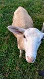 Katahdin ewe lamb looking up at camera. Katahdin ewe lamb standing on green grass looking up at camera Stock Photography