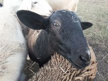 Katahdin ewe lamb peeking out from flock. And looking at camera Stock Photography