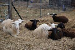 Katahdin ewe lambs laying on bedding Royalty Free Stock Photography