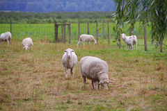 Katahdin Sheep Grazing Stock Image
