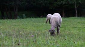 Katahdin sheeps, tackor som betar på äng arkivfilmer