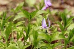 Katakuri (Erythronium japonicum) Stock Image