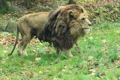 Katanga lew zdjęcie stock