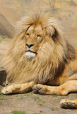Katanga Lion Royalty Free Stock Photography