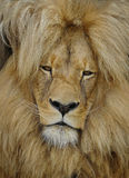 Katanga Lion Royalty Free Stock Photos