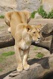 Katanga Lion - liones Royalty Free Stock Photo