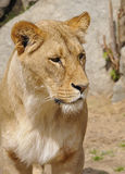 Katanga Lion - lioness Stock Photos