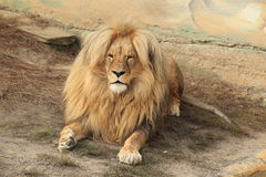 Katanga lion Royalty Free Stock Photo