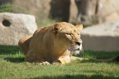 Katanga Lion - Panthera leo bleyenbergh Royalty Free Stock Image