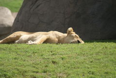 Katanga Lion - Panthera leo bleyenbergh Stock Photo