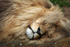 Katanga lion (Panthera leo bleyenberghi). Stock Photos