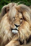 Katanga lion (Panthera leo bleyenberghi). Stock Image