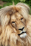 Katanga lion (Panthera leo bleyenberghi). Royalty Free Stock Photography