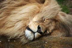 Katanga lion (Panthera leo bleyenberghi). Royalty Free Stock Photo