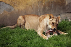 Katanga lion (Panthera leo bleyenberghi). Royalty Free Stock Photos