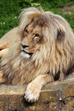Katanga lion (Panthera leo bleyenberghi). Stock Photo