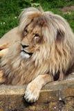 Katanga lion (Panthera leo bleyenberghi). Stock Photo