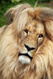 Katanga lion (Panthera leo bleyenberghi). Royalty Free Stock Images