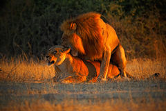 Katanga Lion, Panthera leo bleyenberghi, mating action scene, animal behaviour in the nature habitat, male and female, evening ora Royalty Free Stock Images