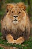 Katanga Lion - Panthera leo bleyenberghi stock images