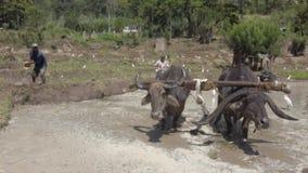 Kataragama, Sri Lanka - 2019-03-29 - homem joga a água em búfalos de água para refrigerá-los para baixo filme