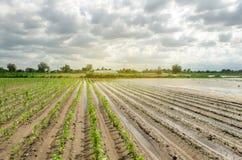 Katastrofa naturalna na gospodarstwie rolnym Zalewający pole z rozsadami pieprz i leek Ulewny deszcz i wylew Ryzyko żniwo strata fotografia royalty free