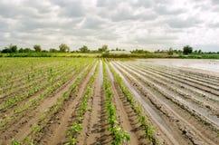 Katastrofa naturalna na gospodarstwie rolnym Zalewający pole z rozsadami pieprz i leek Ulewny deszcz i wylew Ryzyko żniwo strata obrazy royalty free