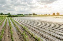 Katastrofa naturalna na gospodarstwie rolnym Zalewający pole z rozsadami pieprz i leek Ulewny deszcz i wylew Ryzyko żniwo strata obraz royalty free