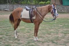 Kathiyawadi马在马骑术学校,艾哈迈达巴德 免版税库存照片