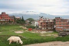 Kathmandu, Boudha. Boudha, Kathmandu, Nepal.  View of residential area with fields and livestock throughout community Royalty Free Stock Image