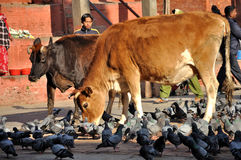 Holy Cow at Kathmandu Durbar Square Stock Photography