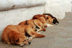 kathmandu för hundar fyra sova arkivbilder