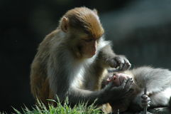 kathmandu małpy Obrazy Stock
