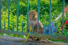 KATHMANDU, NEPAL 15 DE OUTUBRO DE 2017: A família dos macacos que sentam-se no ar livre com oração embandeira perto do stupa do s Fotos de Stock