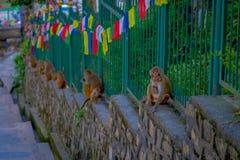 KATHMANDU, NEPAL 15 DE OUTUBRO DE 2017: A família dos macacos que sentam-se no ar livre com oração embandeira perto do stupa do s Foto de Stock Royalty Free