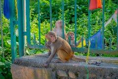 KATHMANDU, NEPAL 15 DE OUTUBRO DE 2017: A família dos macacos que sentam-se no ar livre com oração embandeira perto do stupa do s Imagens de Stock Royalty Free