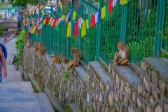 KATHMANDU, NEPAL 15 DE OUTUBRO DE 2017: A família dos macacos que sentam-se no ar livre com oração embandeira perto do stupa do s Imagem de Stock Royalty Free