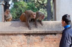 Wild macaque monkeys attack a young man in a park Royalty Free Stock Photography