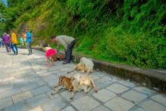 Kathmandu, Nepal, Listopad 02, 2017: Niezidentyfikowani ludzie dotyka dzikie kózki siedzi nad drylującą ścieżką, przy plenerowym  Fotografia Royalty Free