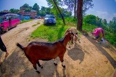 Kathmandu, Nepal, Listopad 02, 2017: Zamyka up dzika kózka, przy plenerowy budzić się nad glinianą ścieżką w Jaipur, India, ryba Zdjęcia Royalty Free