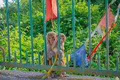KATHMANDU, NEPAL OCTOBER 15, 2017: Family of monkeys sitting at outdoors with prayer flags near swayambhunath stupa Royalty Free Stock Photography