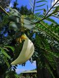 Kathurumurunga kwiat zdjęcie royalty free