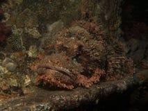 kathy被采取的ras红色石头鲈海运小规模 库存照片
