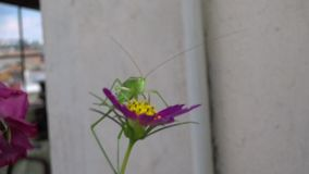 Katidid mediterrâneo Grasshoper vídeos de arquivo