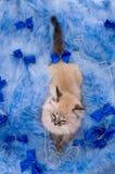 Katje bij de blauwe pluizige deklaag Royalty-vrije Stock Foto's