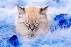Katje bij de blauwe pluizige deklaag Stock Afbeelding