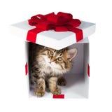 Katje binnen giftdoos Stock Fotografie