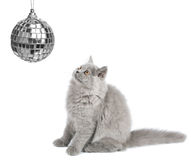 Katje dat geïsoleerdel Kerstmisbal bekijkt Stock Afbeelding