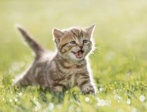Katje die in het groene gras mauwen royalty-vrije stock foto